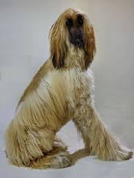 afghan hound harga category articles containing pashto language text wikivisually