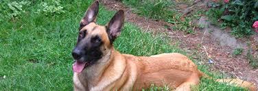 belgian malinois dog belgian malinois information dog breeds at dogthelove
