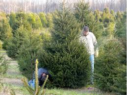 where are the christmas tree farms here u0027s a list matawan nj patch