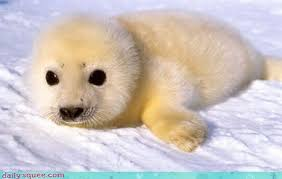 Baby Seal Meme - harp seal daily squee cute animals cute baby animals cute
