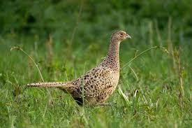 state bird of south dakota a to z the usa south dakota state bird