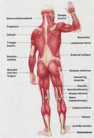 Anatomy Of Human Back Muscles Diagram Of Human Back Muscles Human Anatomy Diagram