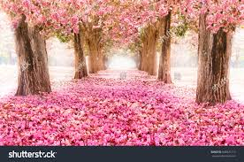 romantic tunnel pink flower trees stock photo 646925113 shutterstock