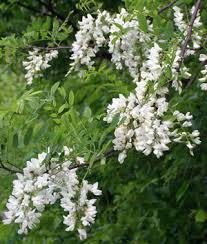 tree with white flowers no it s not white wisteria welcome to the archive of the