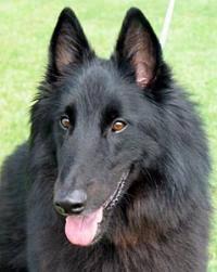 belgian sheepdog ohio find dog u0026 cat breeders near you