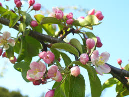 the tuesday tree ahh crab apple blossom beastie