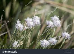 flowers san antonio white flowers san antonio cape stock photo 736248673