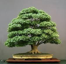 Learn Interior Design Basics Unique 40 Bonsai Tree Inspiration Of The Basics Of Bonsai Learn
