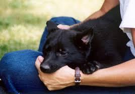 belgian shepherd 4 months leerburg q u0026a on raising and training puppies