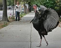 the weirdest incidents involving wild turkeys this week wired