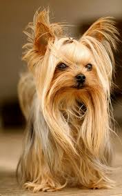 pictures of puppy haircuts for yorkie dogs yorkie super fun lively spirited loving great apartment