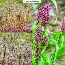 purple melic grass melica altissima atropurpurea type perennial