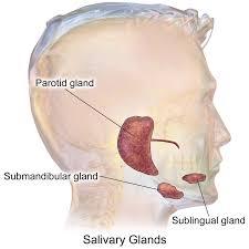 Behind The Ear Anatomy Parotid Gland Wikipedia