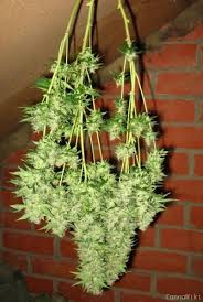chambre de sechage cannabis chambre de sechage cannabis 51 images charcuterie bourgué