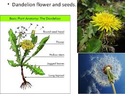 Life Cycle Of A Flowering Plant - parts of a plant plant life cycle teach