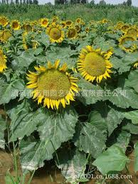 2018 ornamental sunflowers sunflower seeds landscaping seed