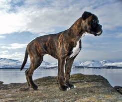 boxer dog origin boxer