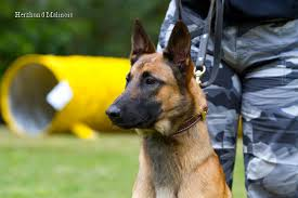 belgian shepherd malinois temperament is a belgian malinois the right dog for me blog by k9 pro and