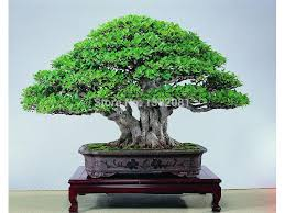 potted ornamental plants 20 seeds ginseng ficus bonsai