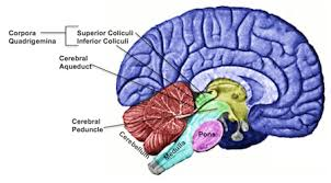 Anatomy Of The Brain And Functions Midbrain Definition Function U0026 Structures Video U0026 Lesson