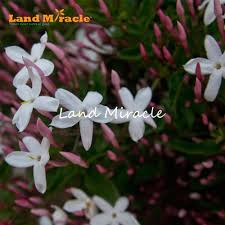 murraya paniculata large orange jasmine aliexpress com buy land miracle heirloom 100 true orange