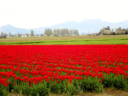 Flower Field Wallpaper - flowers sunrise fields nature flowers tulip flower field tulips