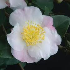 Fragrant Indoor House Plants - chirita u0027keiko u0027 houseplants pinterest houseplants green