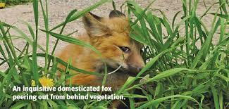 how to tame a fox u2014and build a dog modern dog magazine