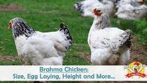 Guide To Raising Backyard Chickens by Raising Backyard Chickens The Happy Chicken Coop