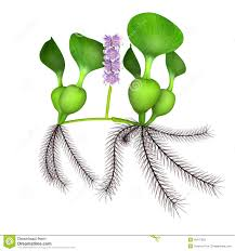 plants native to south america eichhornia stock illustration image 48747622