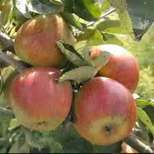 Patio Fruit Trees Uk by Fruit Trees Derwent Treescapes Tree Nursery Matlock Derbyshire