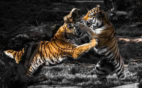 animals fighting selective coloring tiger wallpapers hd all