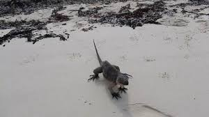 iguana island iguana island in the bahamas youtube