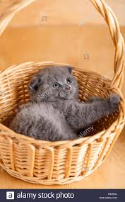 color scottish fold cat in a wicker basket stock photo