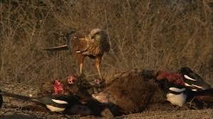 imagenes del animal urraca ave rapaz carroñero cáucaso hd stock video 768 727 787