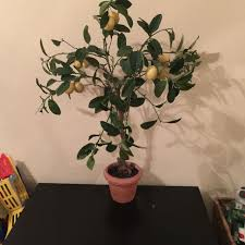 Pottery Barn Sugar Land Texas Find More Pottery Barn Faux Lemon Tree For Sale At Up To 90 Off