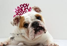bulldog birthday gif gifs show more gifs