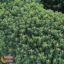 Small Shrubs For Front Yard - shrubs moon valley nurseries
