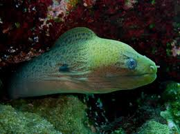 Seeking Eel Moray Eels Parks And Wildlife Service