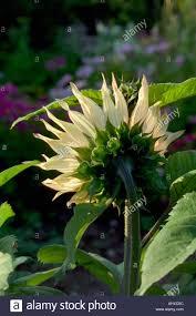 barleywood walled garden wrington somerset uk sunflower heads