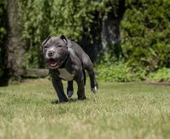 american pitbull terrier in bangalore blue nose pitbull blue nose pitbull info and care blue nose