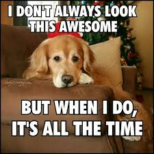 Golden Retriever Meme - image result for golden retriever memes dogs and puppies