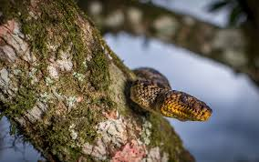 plants native to brazil world u0027s rarest boa rediscovered after 64 years