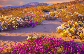 anza borrego desert flowers spectacular super bloom is just days away in this california