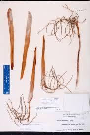 florida keys native plants leucothrinax morrisii species page isb atlas of florida plants
