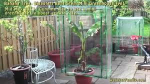 mini banana tree banana tree disaster mini greenhouse fail basjoo 4 youtube