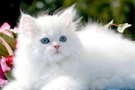 gatti persiani bianchi immagini gatti persiani 28 images cuccioli di gatti persiani