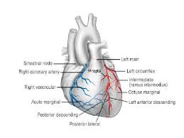 Heart Anatomy Arteries Heart 62 728 Jpg Cb U003d1266615422