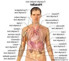 Human Body Anatomy Pics Anatomy Of Human Body Organs Male Male Human Body Anatomy Muscles
