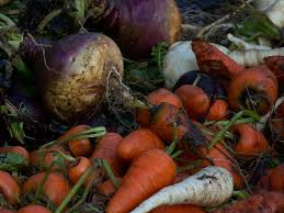 Winter Root Vegetables List - snow u0027s gone time to harvest throwback at trapper creek